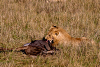 The predator and the prey - Maasai Mara, Kenya