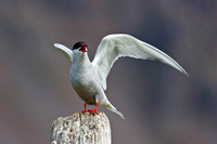 Keep off ! - Arctic tern, Westfjords, Iceland